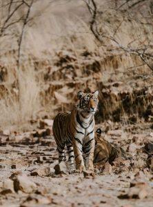 bengal tiger ranthambore national park india image from unsplash